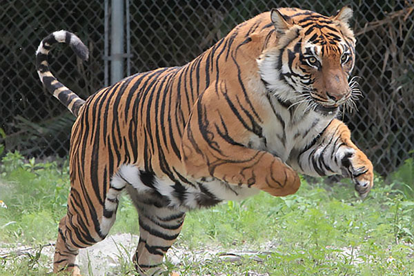 tony the tiger at Big Cat Habitat and Gulf Coast Sanctuary