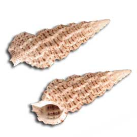 Ceriths Shell