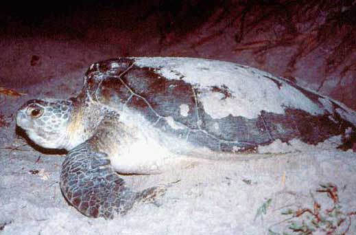 loggerhead on sand