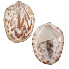 Spotted Slipper Shell