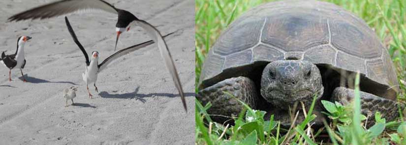 shore birds, gopher tortoise