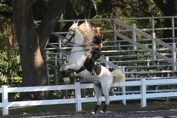 Trained Lipizzan Stallion performing