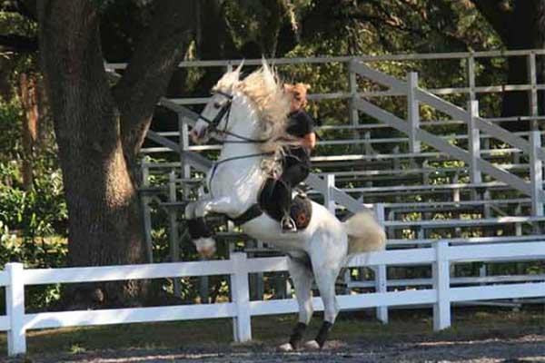 Trained Lipizzan Stallion performing