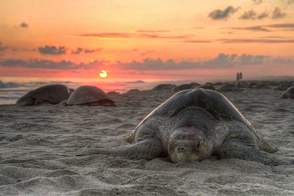 Sea turtles need your help